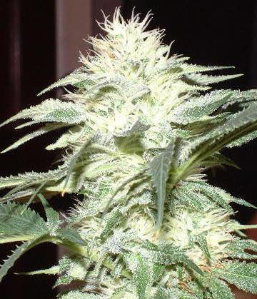 white-widow-plantWhite Widow Plant