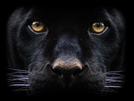 black puma pictures